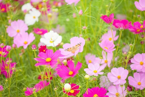 コスモスを綺麗に咲かせよう!上手な育て方5選