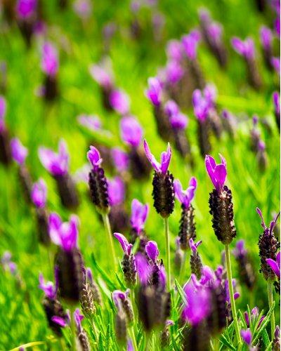 香りや色が大人気☆ラベンダーの6つの効能