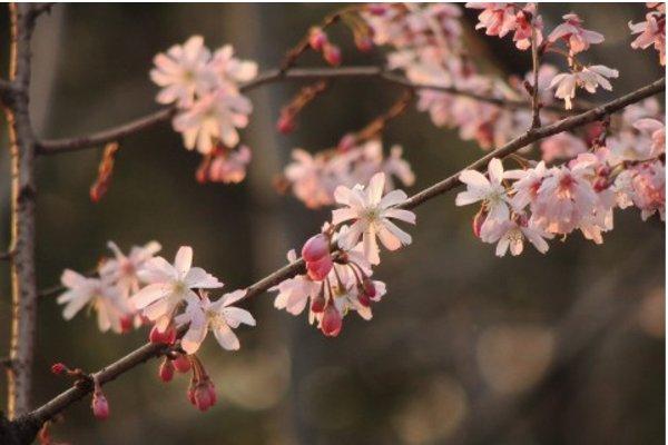 桜の名前で知っておきたい5つの種類