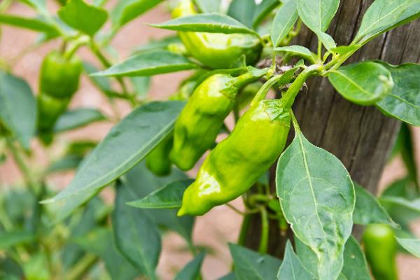 ししとうの栽培をするための5つの知識
