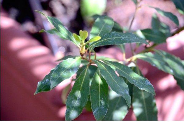 月桂樹の育て方の5つのポイント