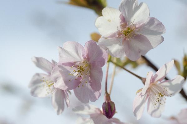 寒桜にまつわる5つの情報