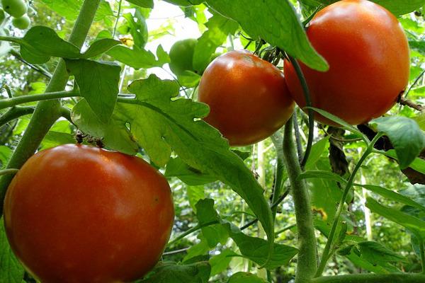 トマトの栽培をうまく行う5つのポイント