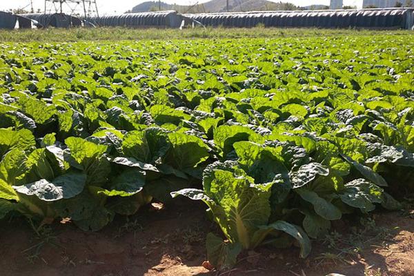 白菜の栽培の時の5つの注意点