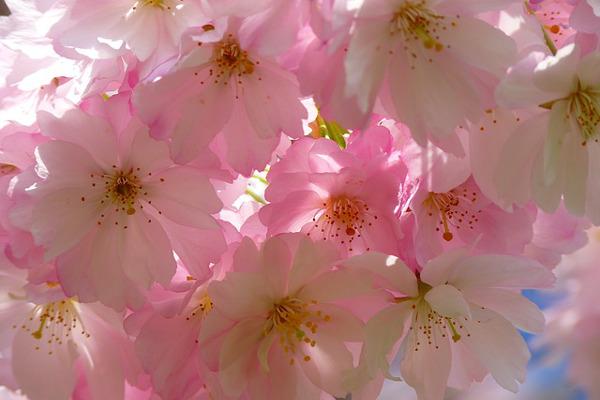 桜の盆栽について知っておきたい5つの知識